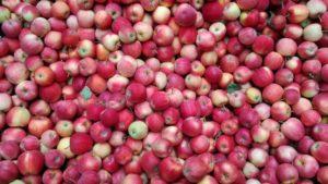 Angebaut werden 22 Sorten Äpfel