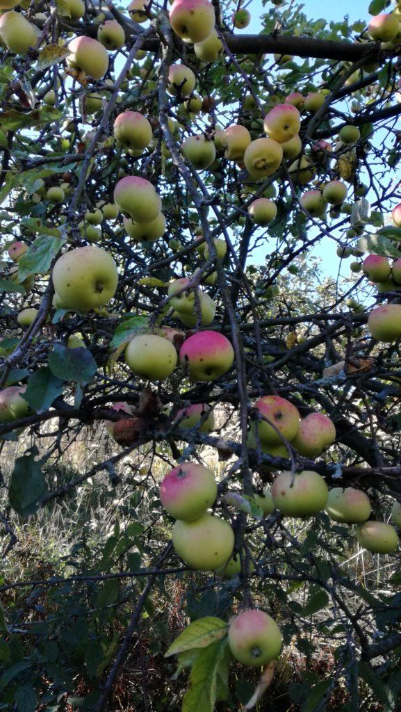 Äpfel im November