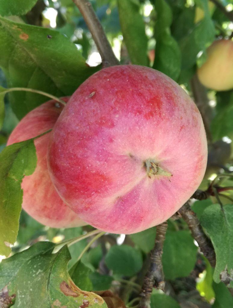 jeder Apfel ein Kunstwerk